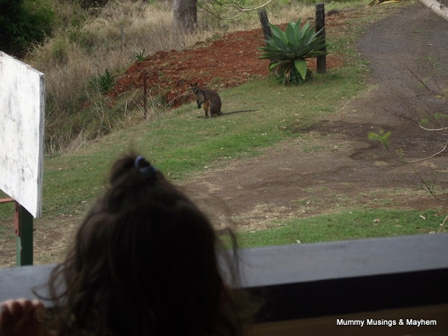 Our Family Wallaby – Friend or Foe?