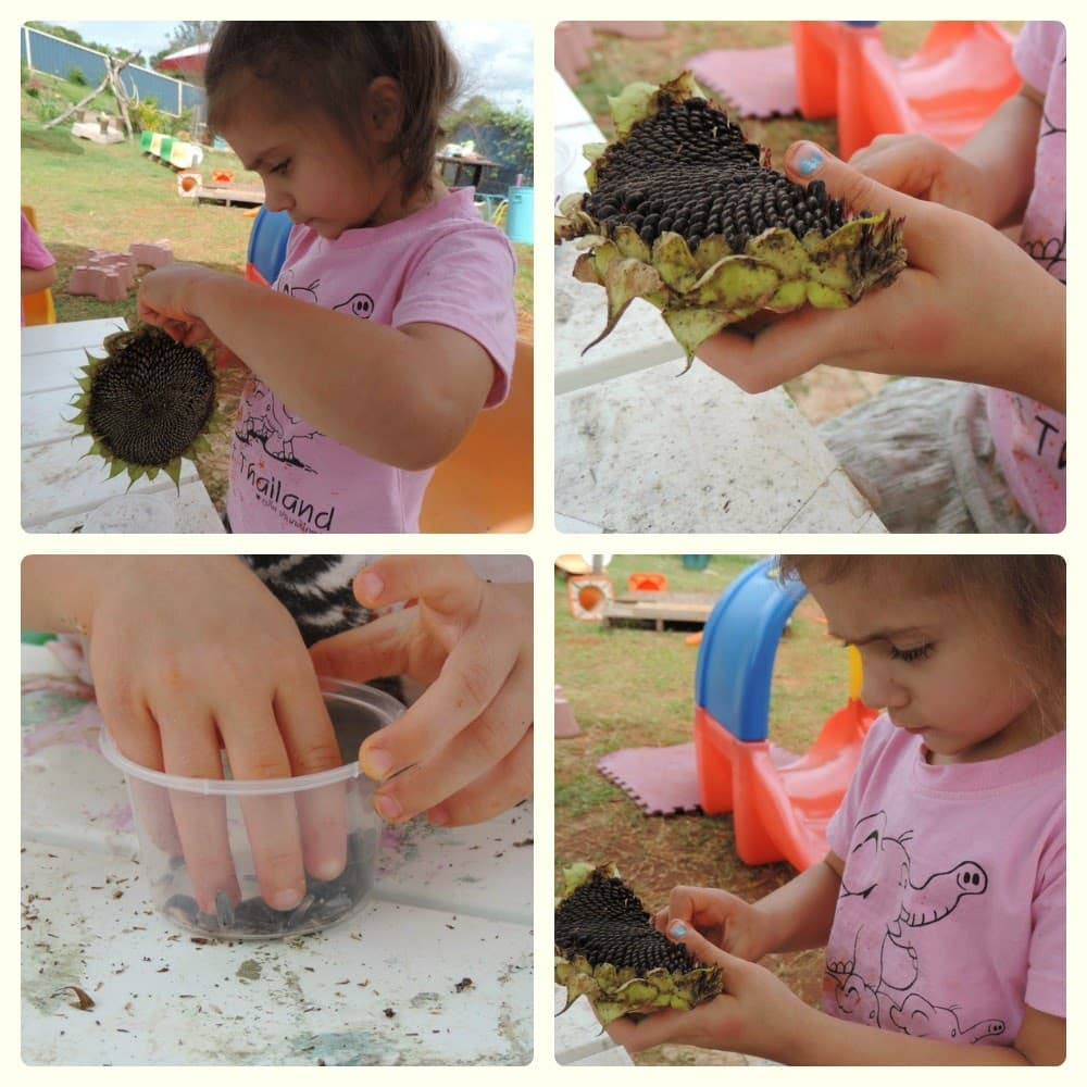 Activities with sunflowers for children- from growing to painting! See more at Mummy Musings and Mayhem
