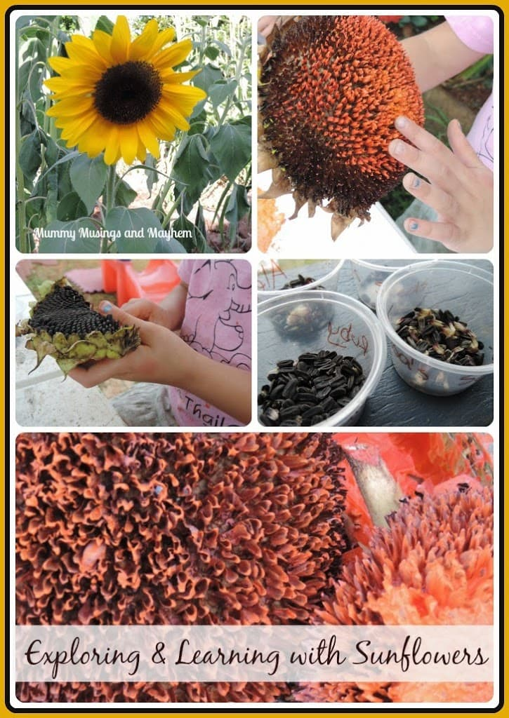 Sunflowers…A journey through sustainability and creativity.